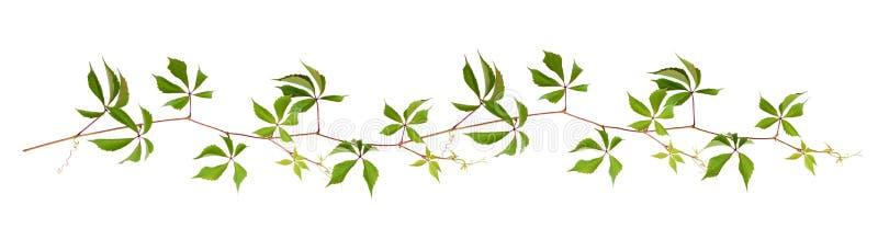 Ramoscello del Parthenocissus con le foglie verdi in una linea disposizione royalty illustrazione gratis
