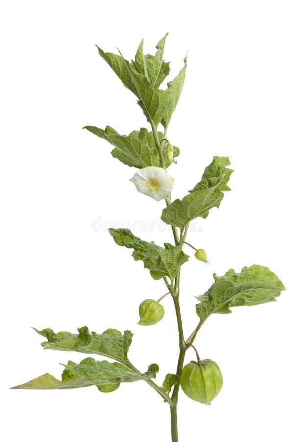 Ramoscello del Physalis con il fiore immagini stock