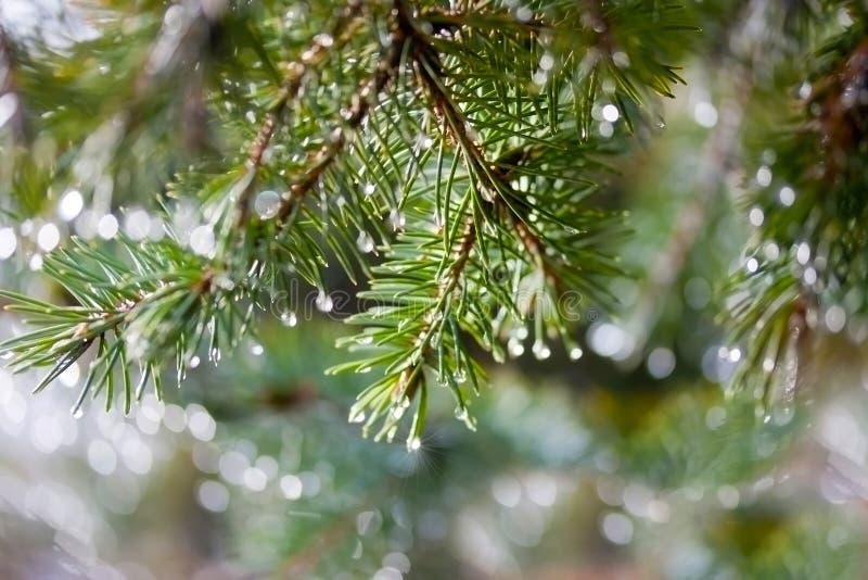 Ramoscello del pino con le gocce di pioggia fotografia stock