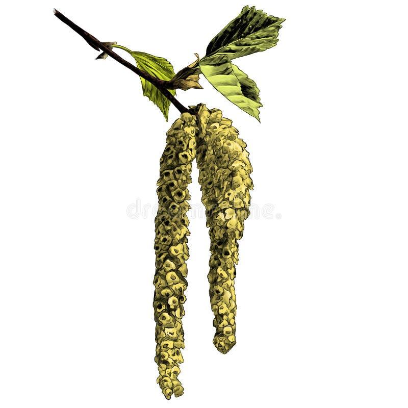 Ramoscello della betulla con l'orecchino di fioritura illustrazione vettoriale