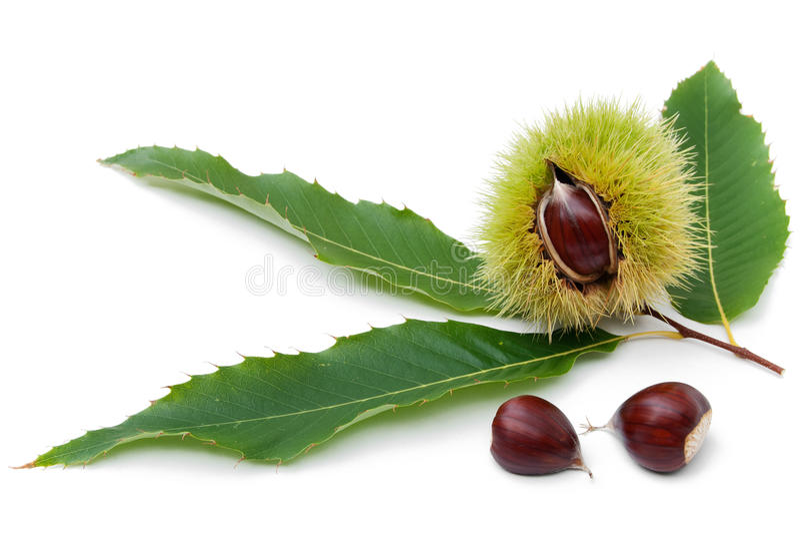 Ramoscello della castagna dolce con la frutta fotografia stock libera da diritti