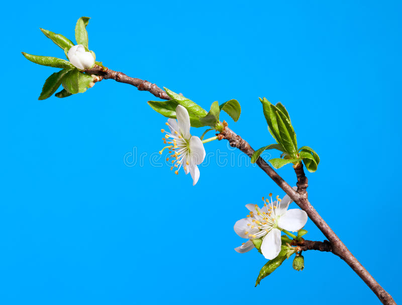 Ramoscello della mela del fiore immagine stock immagine for Disegni del mazzo del secondo piano