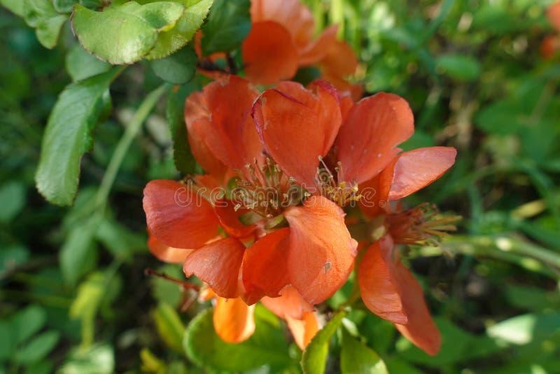 Ramoscello della rosa selvatica con i fiori arancio nel primo mattino di primavera nel giardino immagini stock libere da diritti
