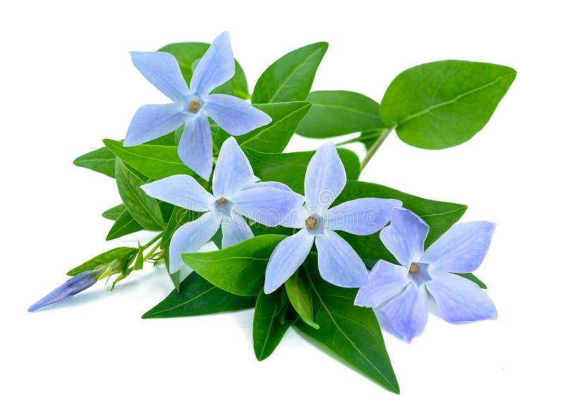 Ramoscello della vinca con i fiori fotografia stock libera da diritti
