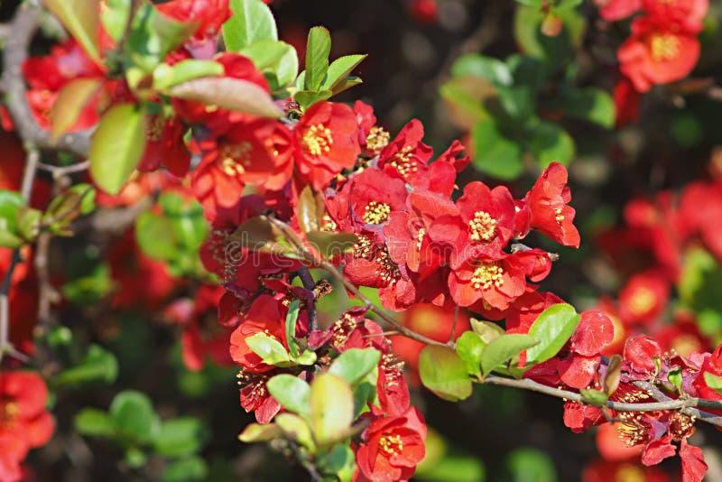 Ramoscello dello speciosa difioritura di chaenomeles - cotogna giapponese fotografie stock