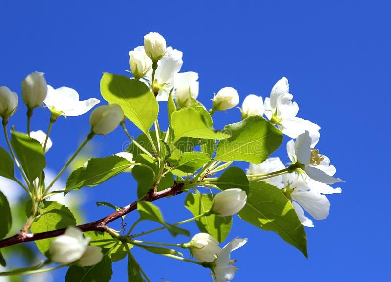 Ramoscello di un fiore dell'Apple-albero contro un fondo del cielo blu immagine stock libera da diritti