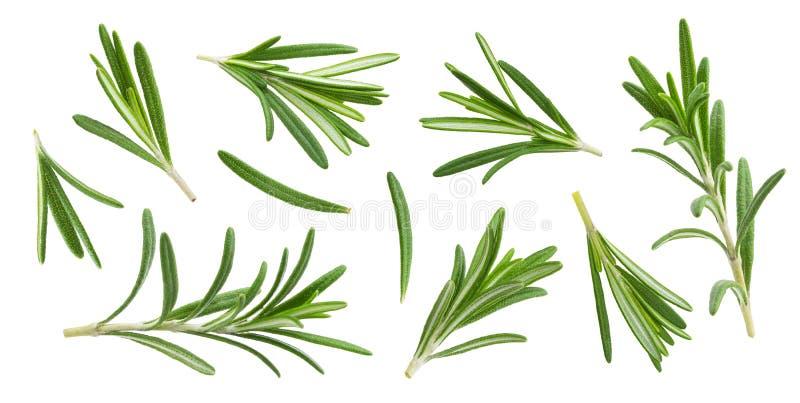 Ramoscello e foglie dei rosmarini isolati su fondo bianco con il percorso di ritaglio, raccolta immagine stock libera da diritti