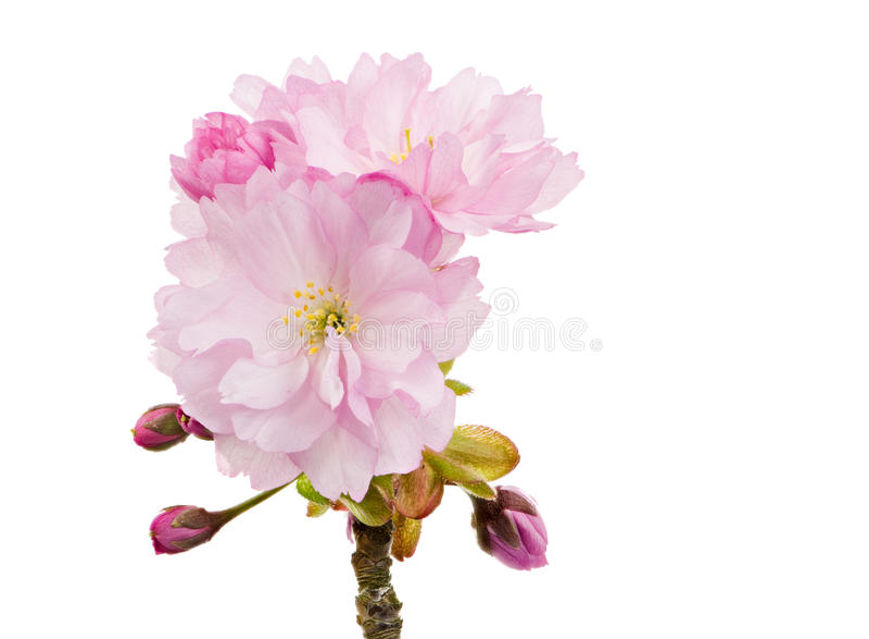 Ramoscello isolato con i fiori di ciliegia rosa fotografia stock libera da diritti