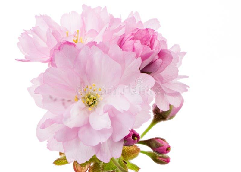 Ramoscello isolato con i fiori di ciliegia rosa immagini stock libere da diritti