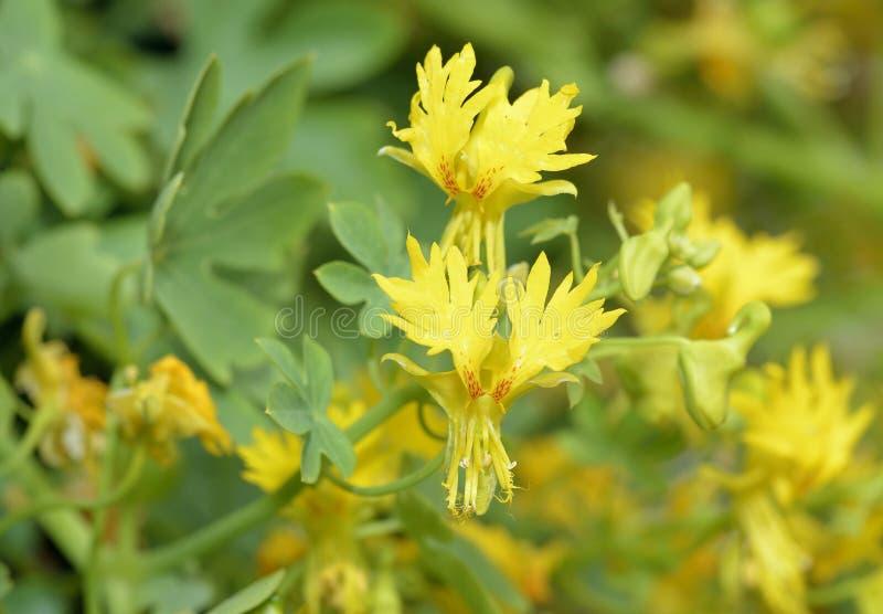 Rampicante color giallo canarino fotografia stock