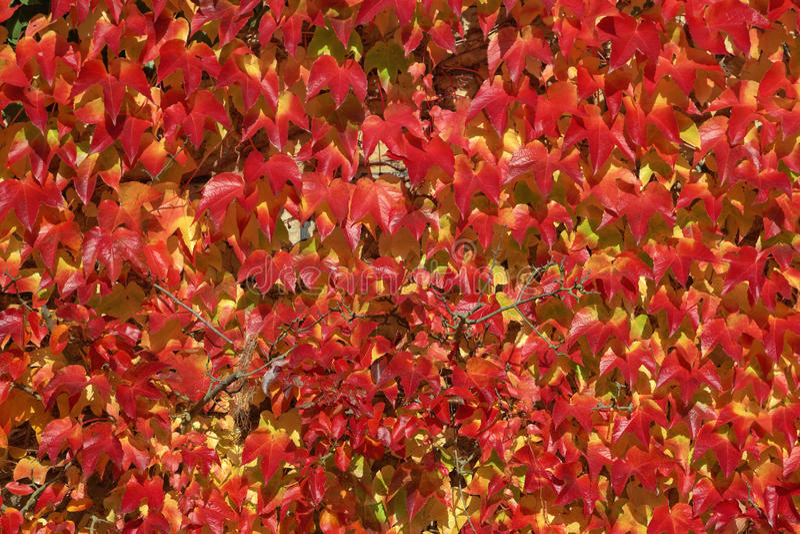 Rampicante giapponese, vite canadese, edera di Boston, edera in autunno fotografie stock