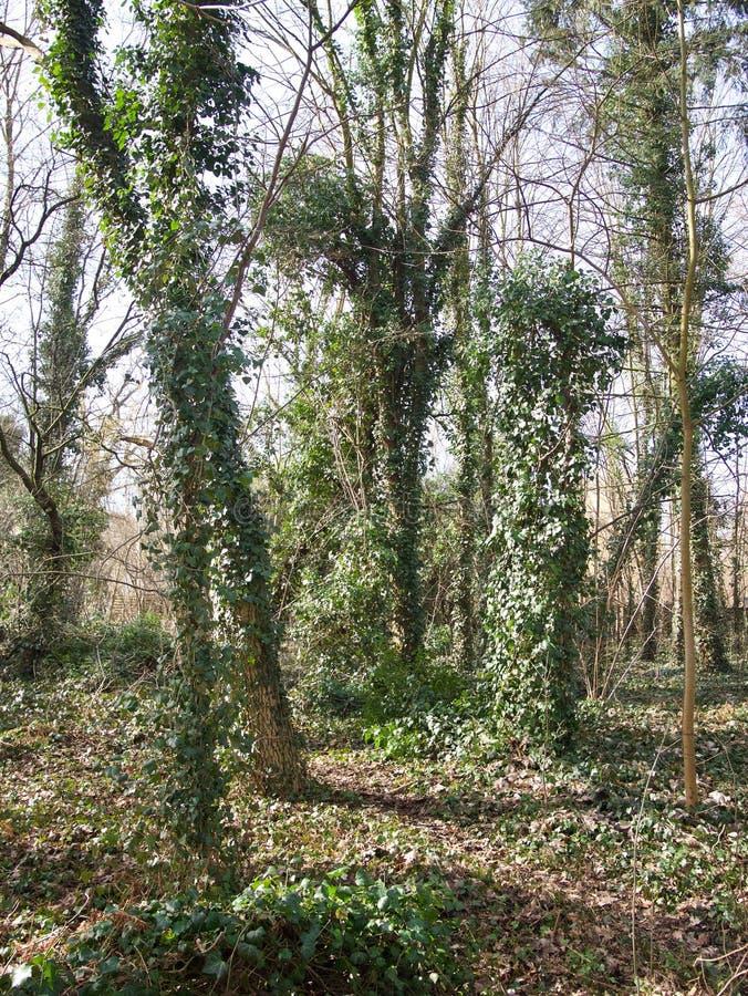 Rampicanti che crescono sui tronchi degli alberi immagine stock