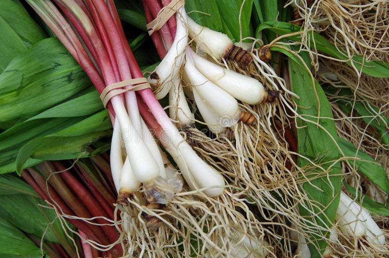 Ramps with roots. Fresh ramps with roots for farmer market royalty free stock image