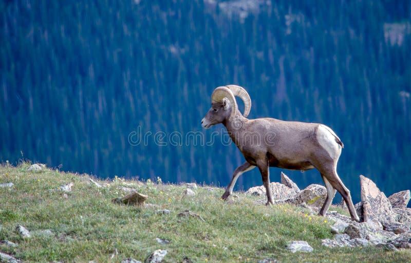 Rams bighorn schapen op een bergrand royalty-vrije stock fotografie