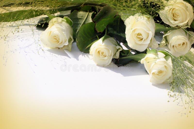 ramy róży biel fotografia royalty free