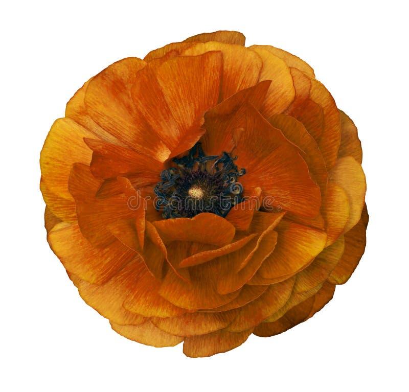 Ranúnculo amarelo-marrom Botão de ouro brilhante da flor no fundo branco isolado com o trajeto de grampeamento sem sombras Close- imagens de stock