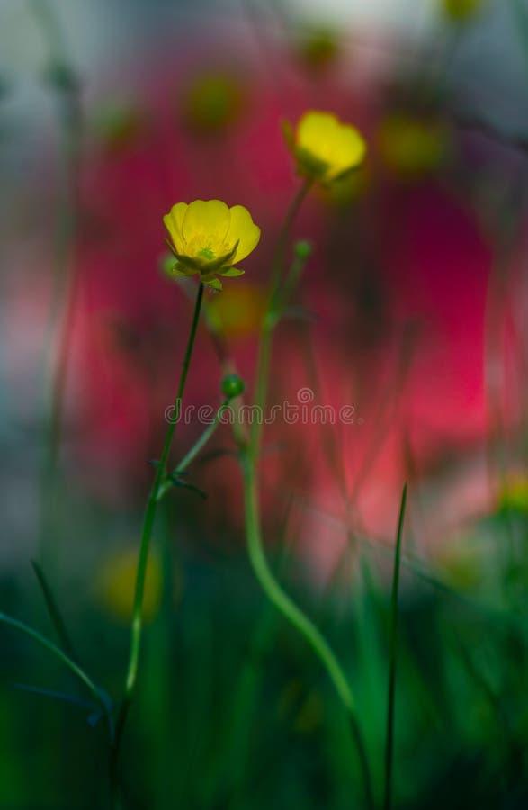 Ranúnculo amarillo en fondo vibrante imagen de archivo libre de regalías