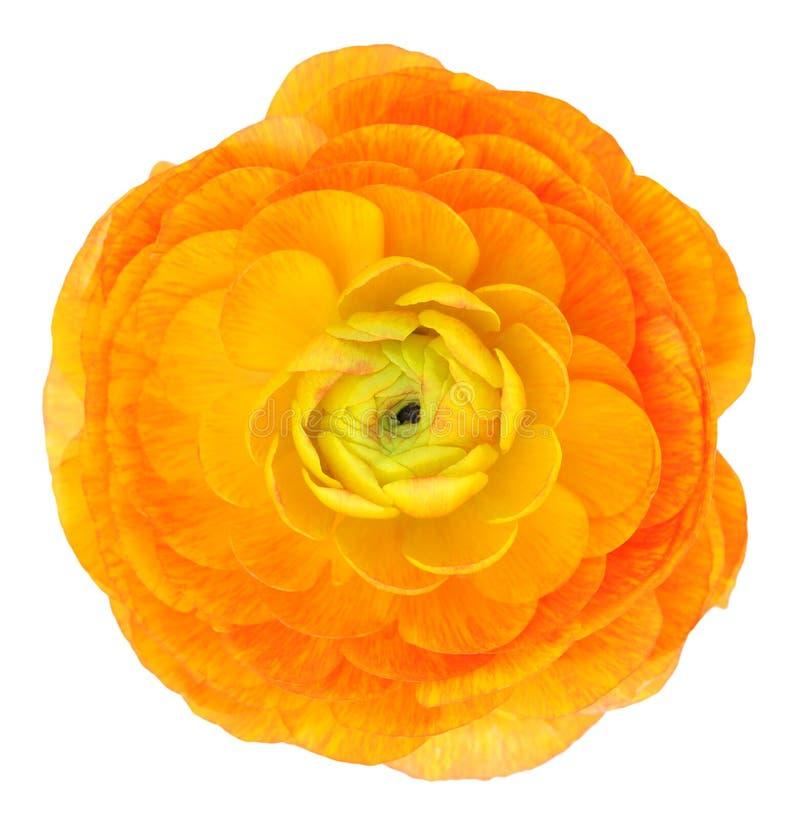 Ranúnculo anaranjado claro imagenes de archivo