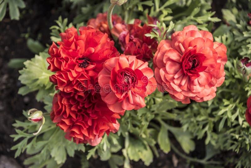 Ranúnculo asiático do botão de ouro das flores Ramalhete bonito do jardim alaranjado do ranúnculo na primavera imagem de stock royalty free