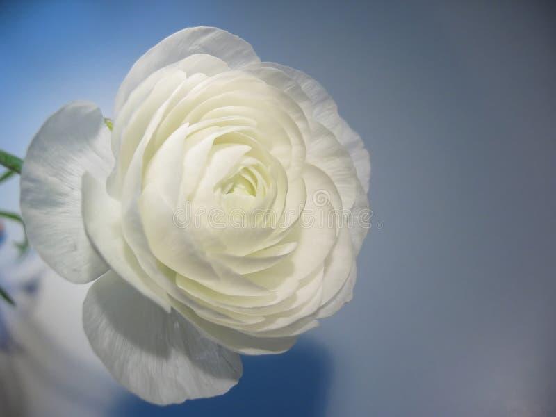 Ranúnculo blanco del turbante foto de archivo