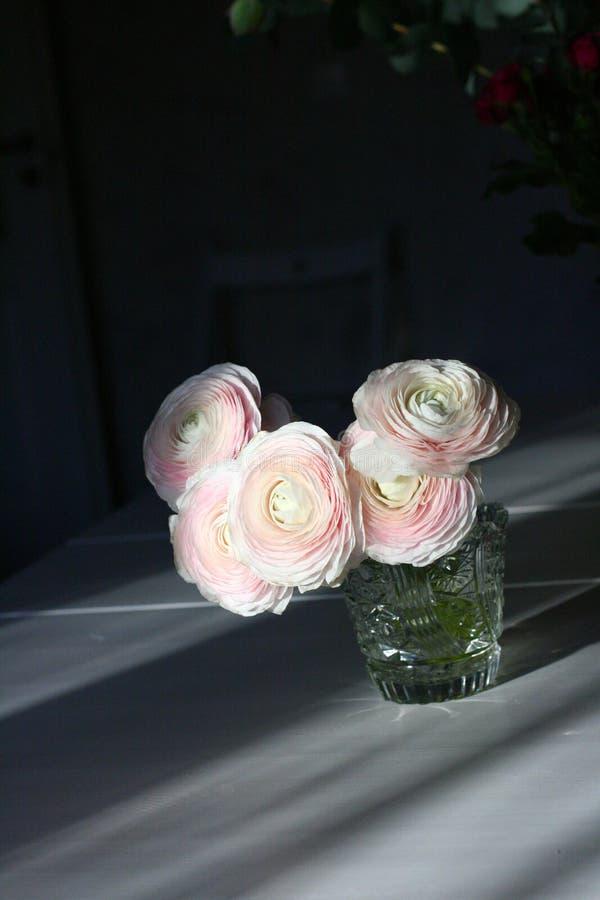Ranúnculo branco e cor-de-rosa da flor com fundo escuro imagens de stock royalty free