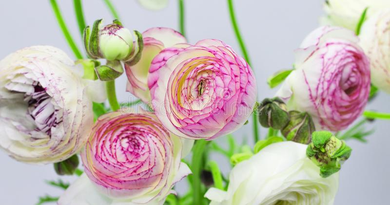 Ranúnculo branco em um vaso em um fundo floral do fundo branco imagens de stock royalty free