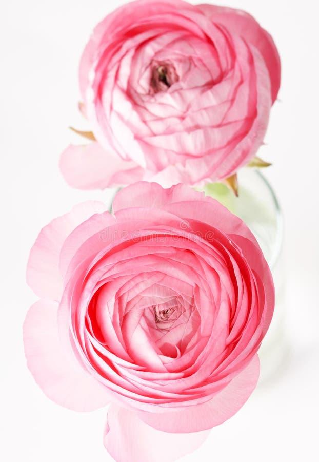 Ranúnculo cor-de-rosa fotografia de stock