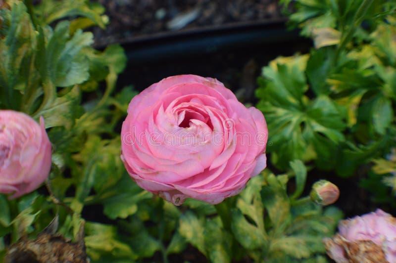 Ranúnculo cor-de-rosa, flores persas do botão de ouro imagem de stock