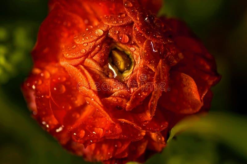 Ranúnculo cubierto de rocio rojo de la flor fotos de archivo libres de regalías