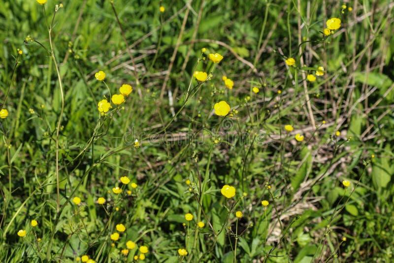 ranúnculo de prado común o ranúnculo alto (acris del ranúnculo) que florece en primavera imagen de archivo libre de regalías