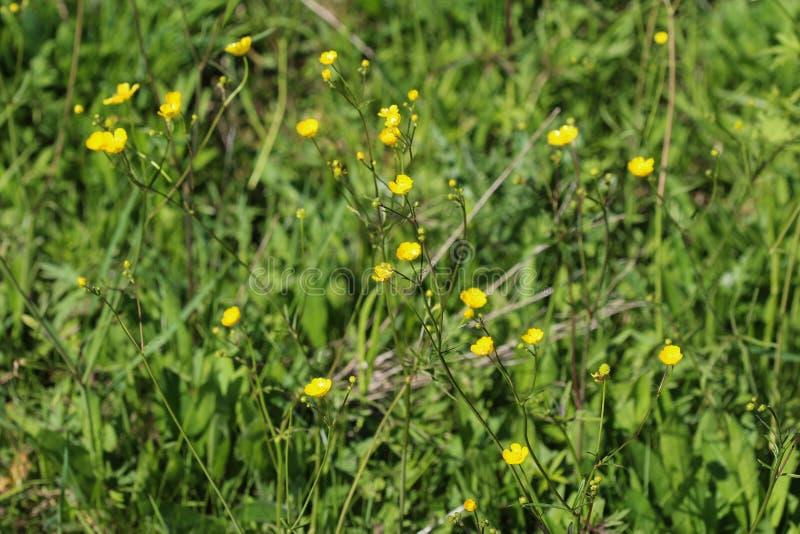 ranúnculo de prado común o ranúnculo alto (acris del ranúnculo) que florece en primavera foto de archivo libre de regalías