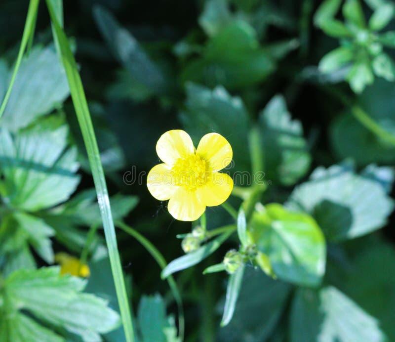 ranúnculo de prado común o ranúnculo alto (acris del ranúnculo) que florece en primavera foto de archivo