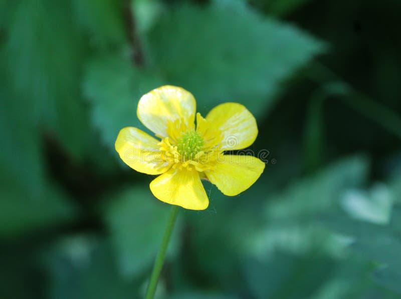 ranúnculo de prado común o ranúnculo alto (acris del ranúnculo) que florece en primavera fotos de archivo libres de regalías