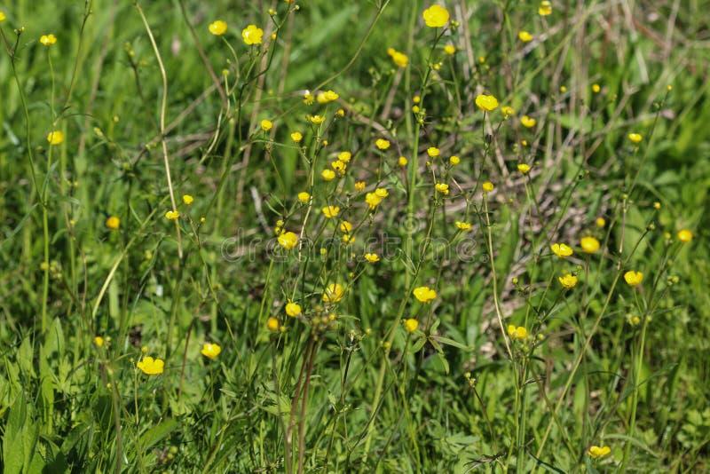 ranúnculo de prado común o ranúnculo alto (acris del ranúnculo) que florece en primavera imágenes de archivo libres de regalías