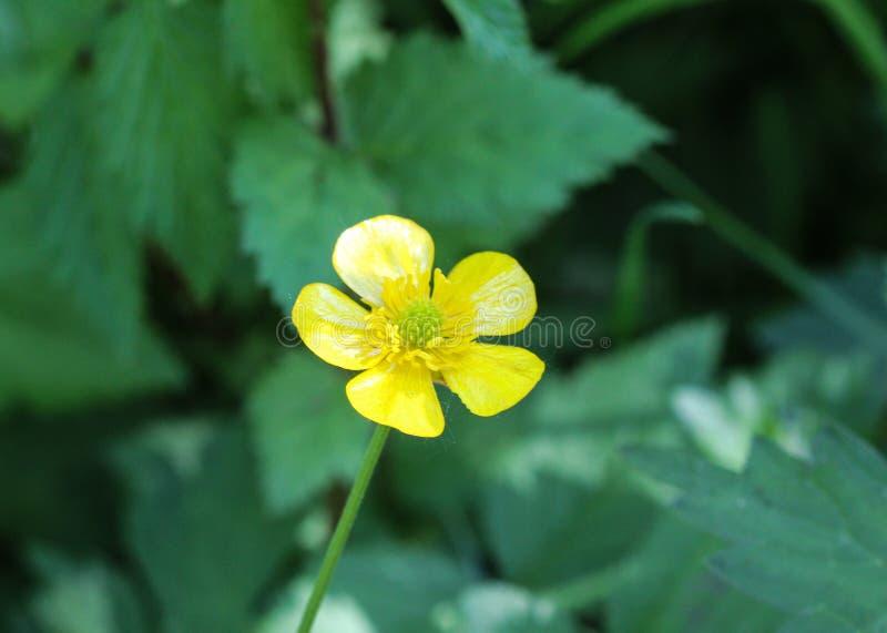 ranúnculo de prado común o ranúnculo alto (acris del ranúnculo) que florece en primavera imagenes de archivo