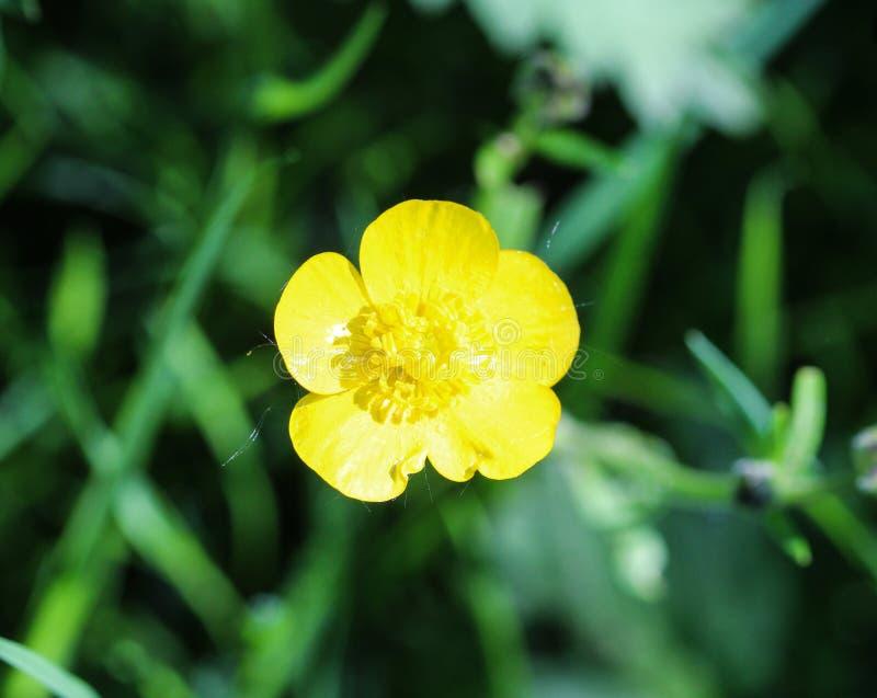 ranúnculo de prado común o ranúnculo alto (acris del ranúnculo) que florece en primavera fotos de archivo