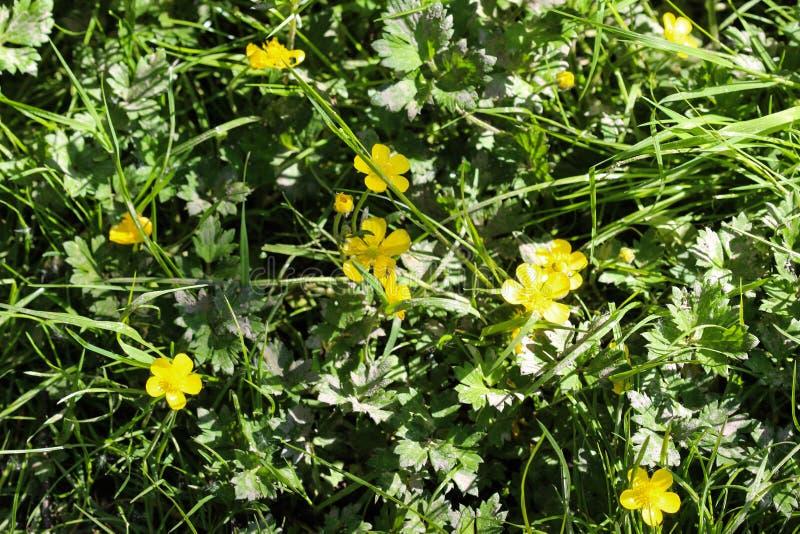 ranúnculo de prado común o ranúnculo alto (acris del ranúnculo) que florece en primavera fotografía de archivo libre de regalías