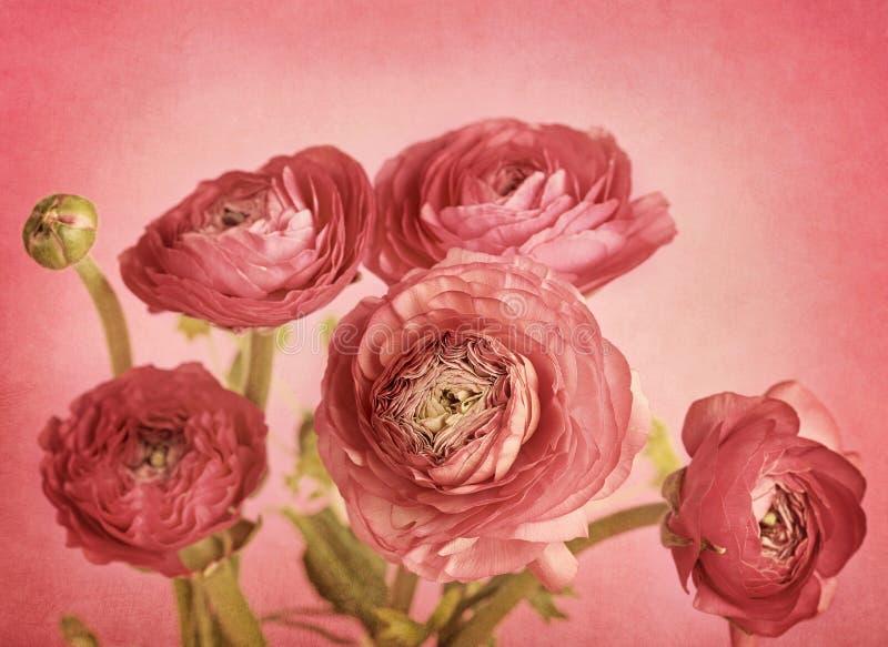 Ranúnculo de Rose foto de archivo