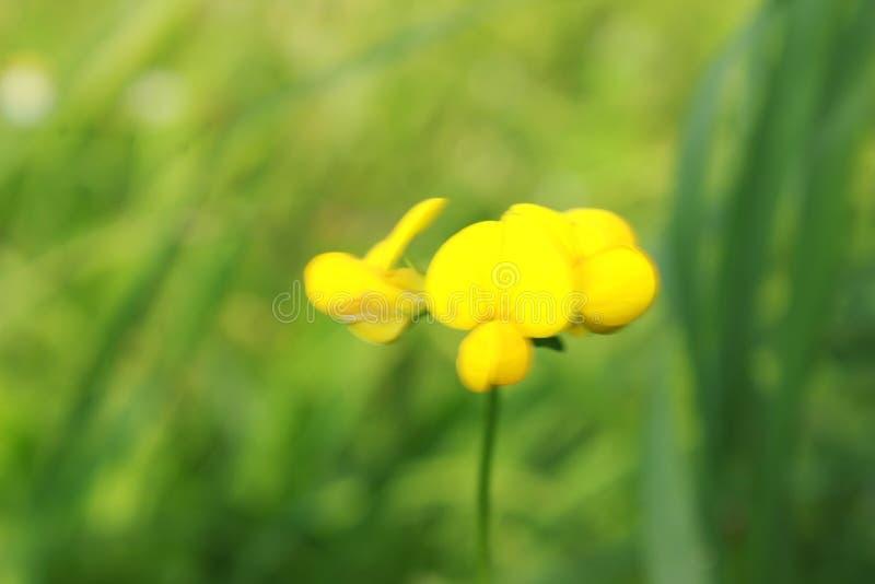 Ranúnculo en un prado de la flor foto de archivo