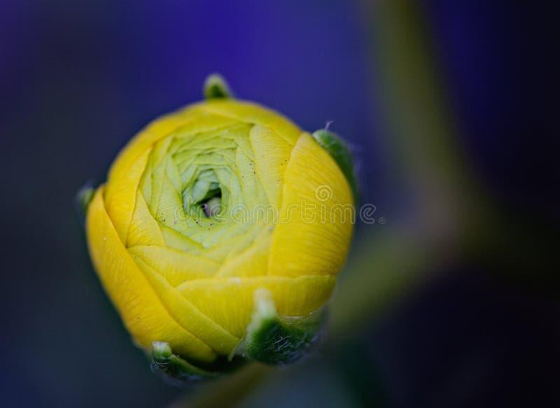 Ranúnculo - macro amarelo imagens de stock royalty free