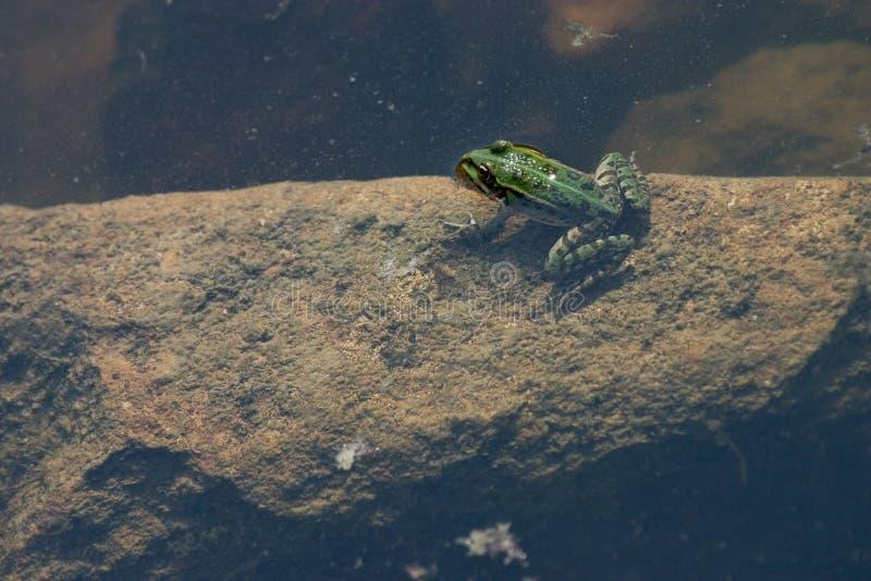 Download Rana immagine stock. Immagine di verde, anfibio, piedino - 209817