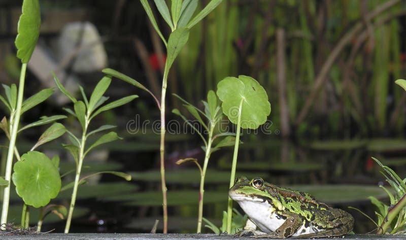 Download Rana immagine stock. Immagine di anfibio, rana, verde, animale - 222101