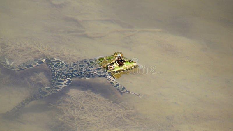 Rana in acqua fotografia stock