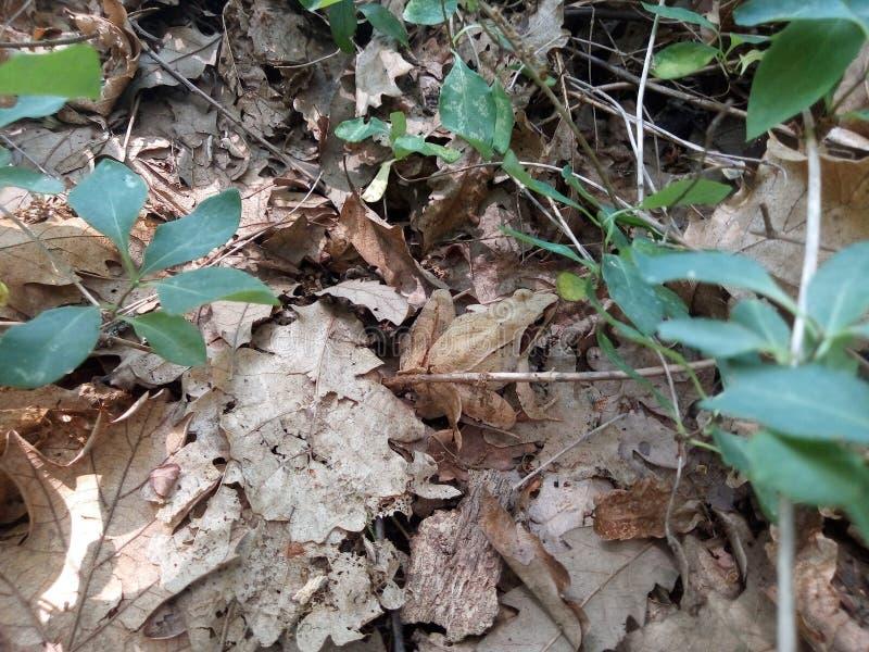 Rana agile - dalmatina del Rana fotografia stock libera da diritti