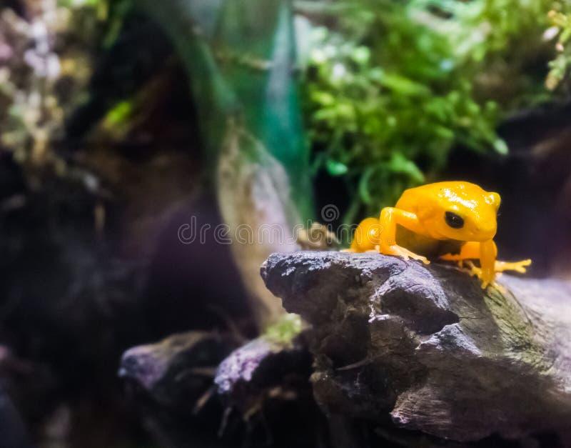 Rana amarilla del dardo del veneno que se sienta en anfibio minúsculo venenoso muy peligroso de la rama un pequeño de América fotos de archivo