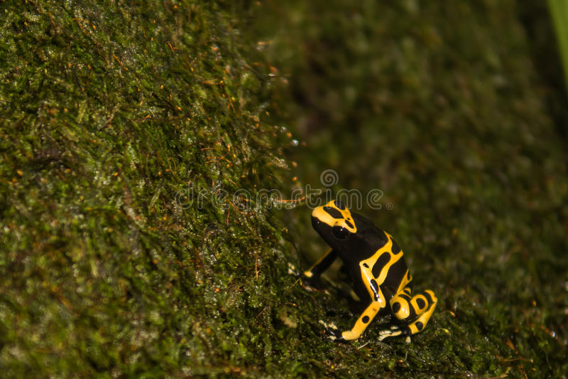 rana Amarillo-congregada del dardo del veneno fotografía de archivo libre de regalías