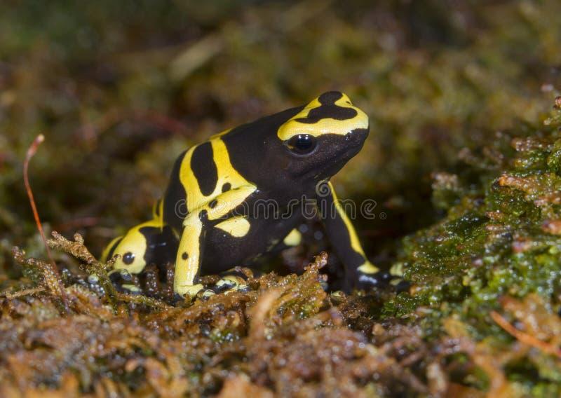 rana Amarillo-congregada del dardo del veneno o rana del veneno del abejorro (leucomelas de Dendrobates) fotografía de archivo
