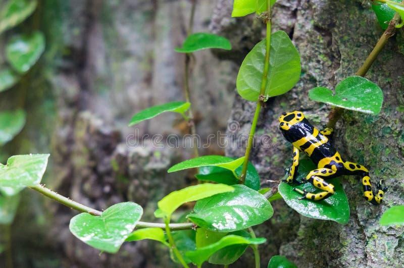 rana Amarillo-congregada del dardo del veneno (leucomelas de Dendrobates) en el pabellón tropical del bosque imagen de archivo