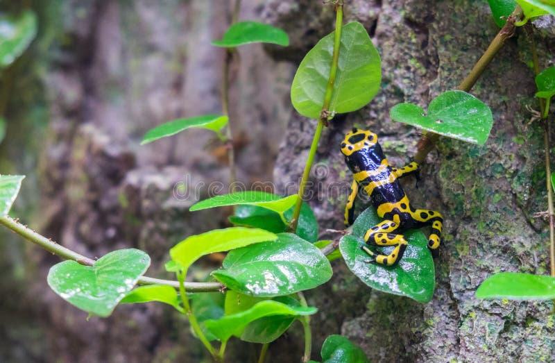 rana Amarillo-congregada del dardo del veneno (leucomelas de Dendrobates) en el pabellón tropical del bosque imágenes de archivo libres de regalías