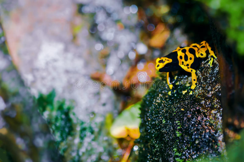rana Amarillo-dirigida del dardo del veneno en su hábitat natural fotos de archivo libres de regalías